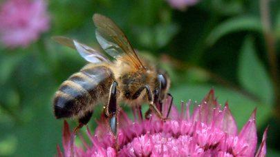 Pollinering pa utplantingsplante MB 2014
