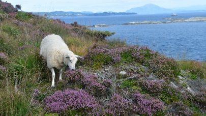 Norsk kvit sau pa kystlyngheibeite Foto Annlaug Fludal
