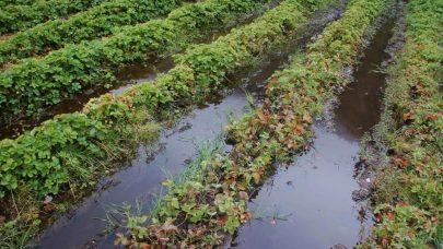 Staende vatn i jordbaeraker