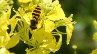 Blomsterflue kari B