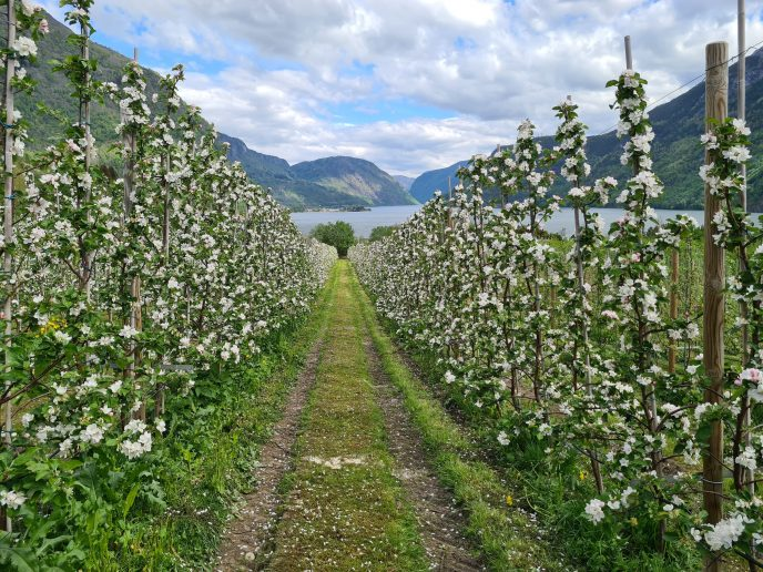 Fruktblomstring Gravenstein Nornes